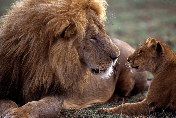 Image result for the Lion roars photos